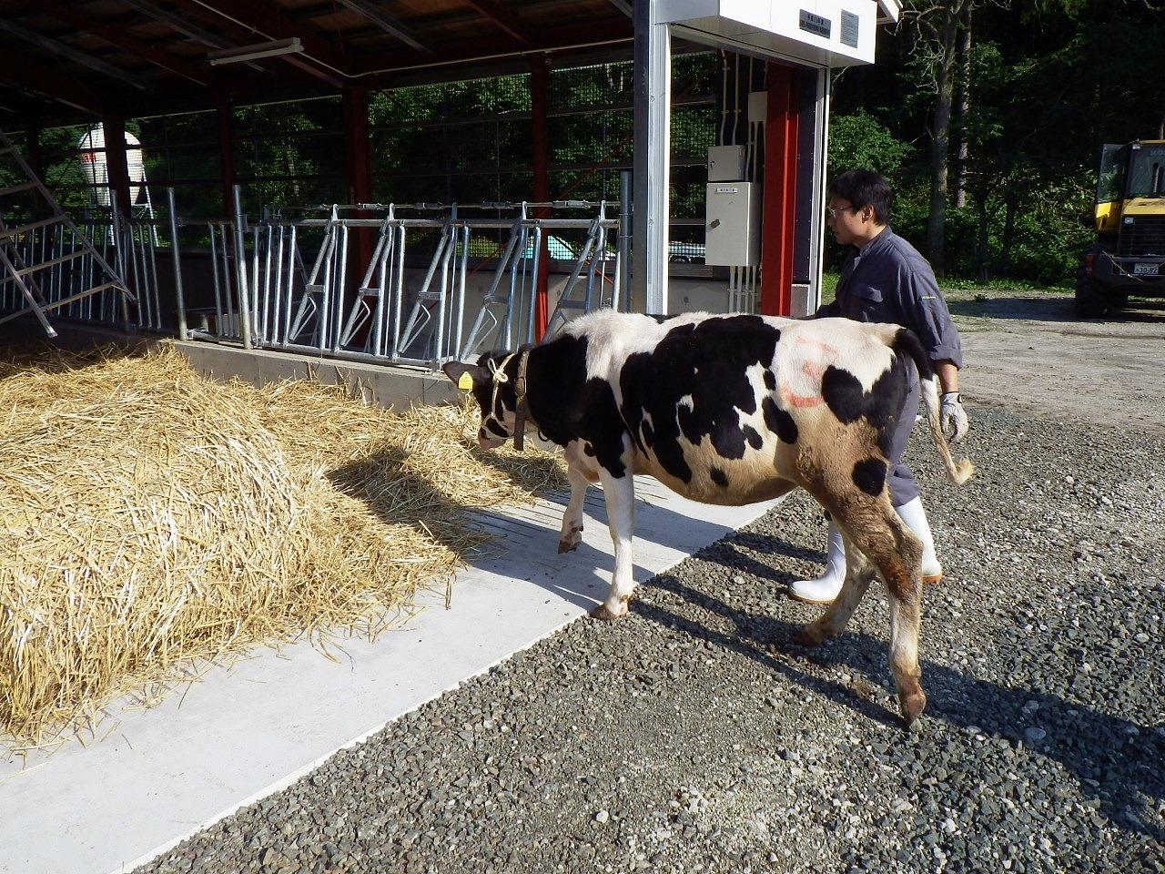 牛舎に入る牛たち